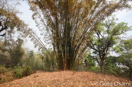 ナガでよく見る竹