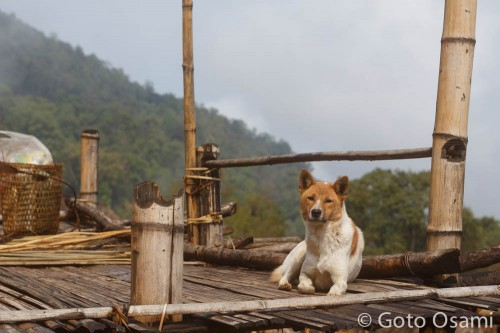 ナガの犬は柴犬みたいでかわいい