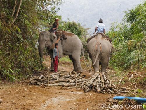 材木を運ぶ使役象